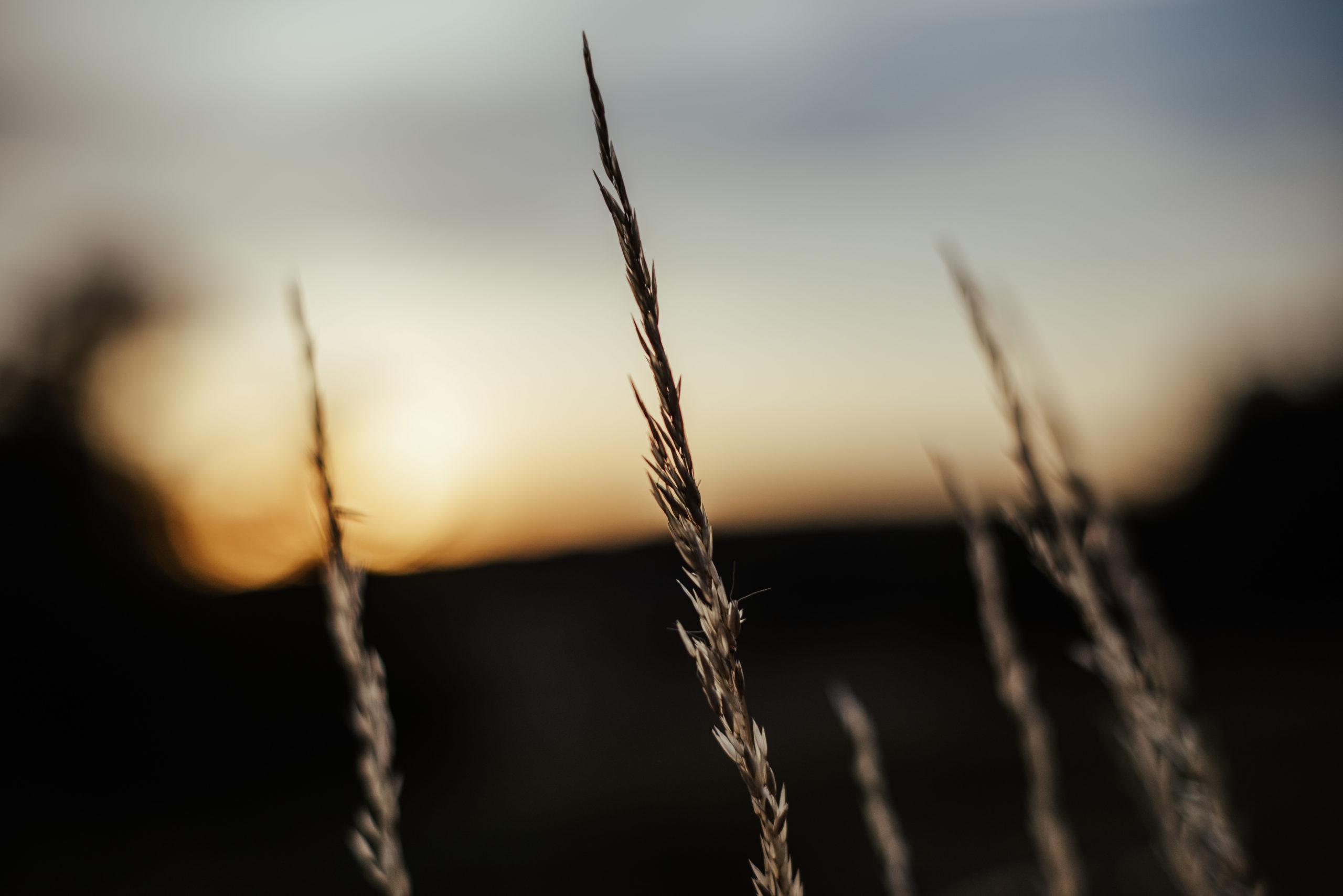 détail champs de blé séance fiançaille élincourt-st-marguerite oise